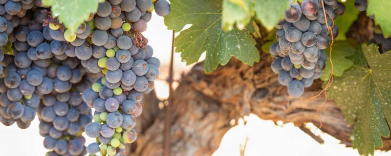 如何自制葡萄酒方法,葡萄酒怎么做
